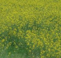rapeseedfield